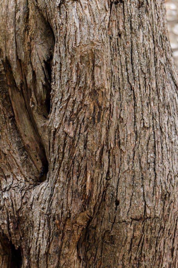 De textuur van de olijfboomboomstam royalty-vrije stock foto