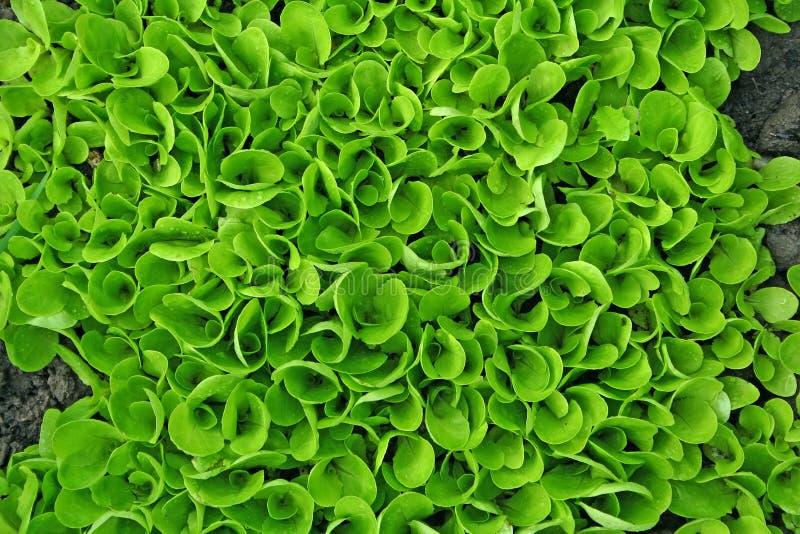 De textuur van de salade royalty-vrije stock afbeelding