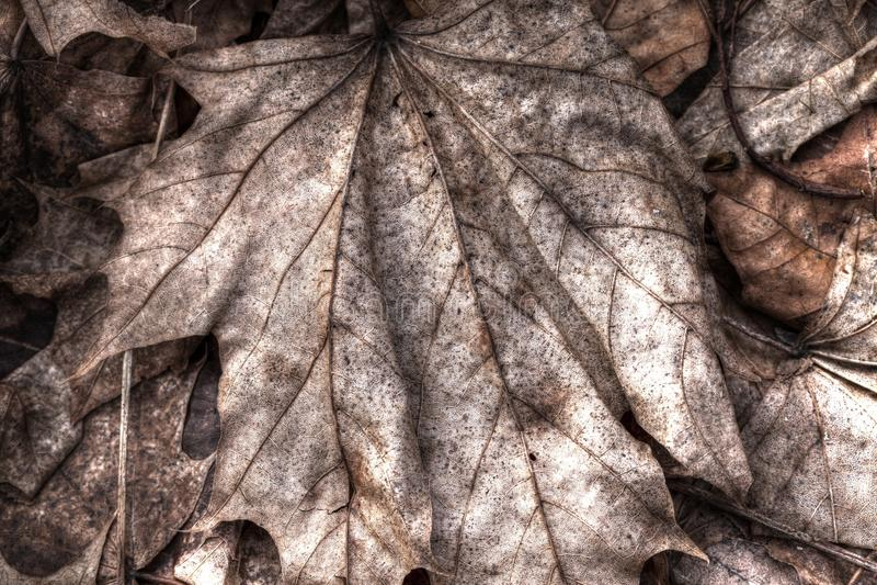De Textuur van het esdoornblad stock foto