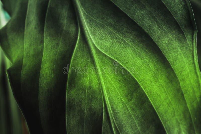 De textuur van het groene installatieblad, macroschot Aardachtergrond, de lenteflora royalty-vrije stock afbeelding