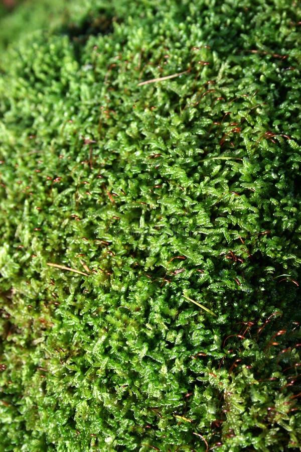 De Textuur van het mos royalty-vrije stock afbeeldingen