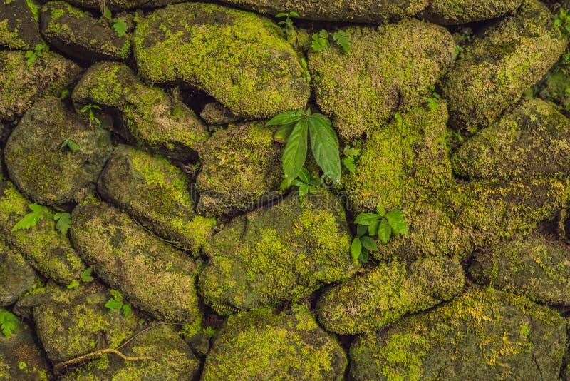 De textuur van oude steenmuur behandelde groen mos in Fort Rotterdam, Makassar - Indonesië stock afbeeldingen