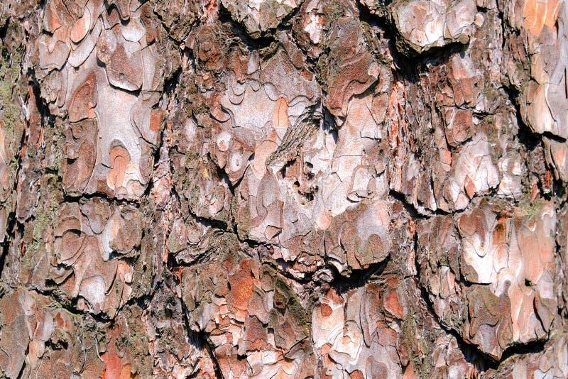 De textuur van de pijnboomschors Schors van de Boom van de Pijnboom royalty-vrije stock foto's