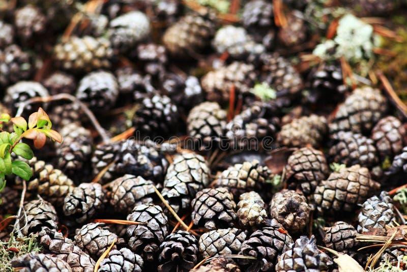 De textuurherfst pinecones stock afbeelding