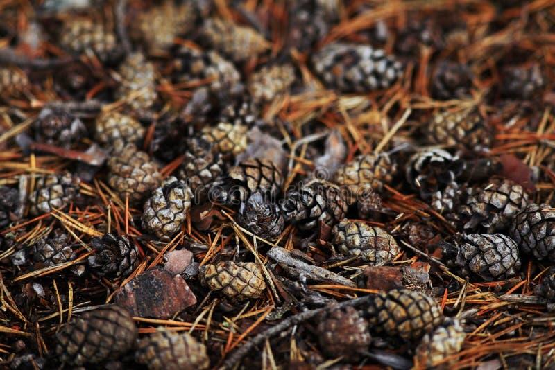 De textuurherfst pinecones stock afbeeldingen