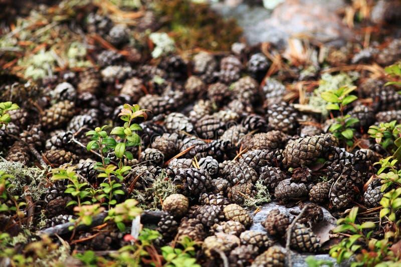 De textuurherfst pinecones stock foto