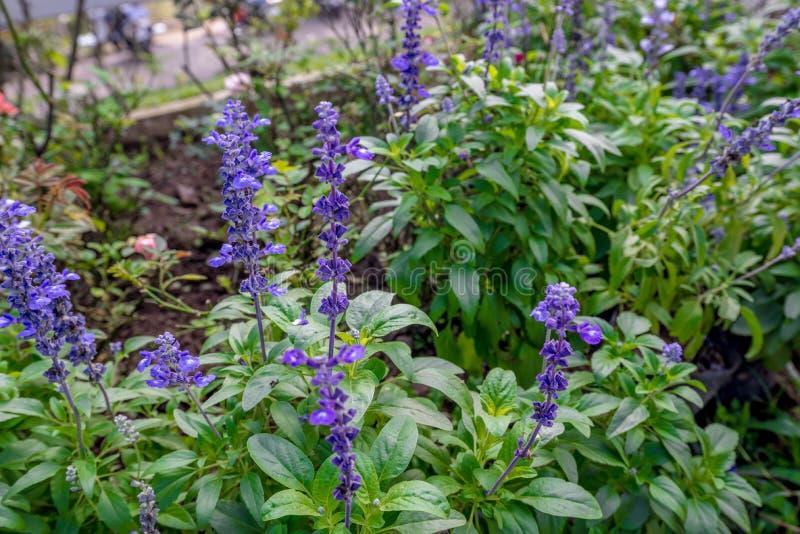De Thaise installatie van de Lavendelbloem op het tuingebied royalty-vrije stock foto