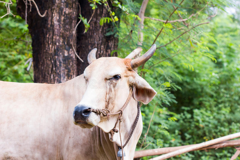 De Thaise koe heeft scheuren royalty-vrije stock afbeeldingen