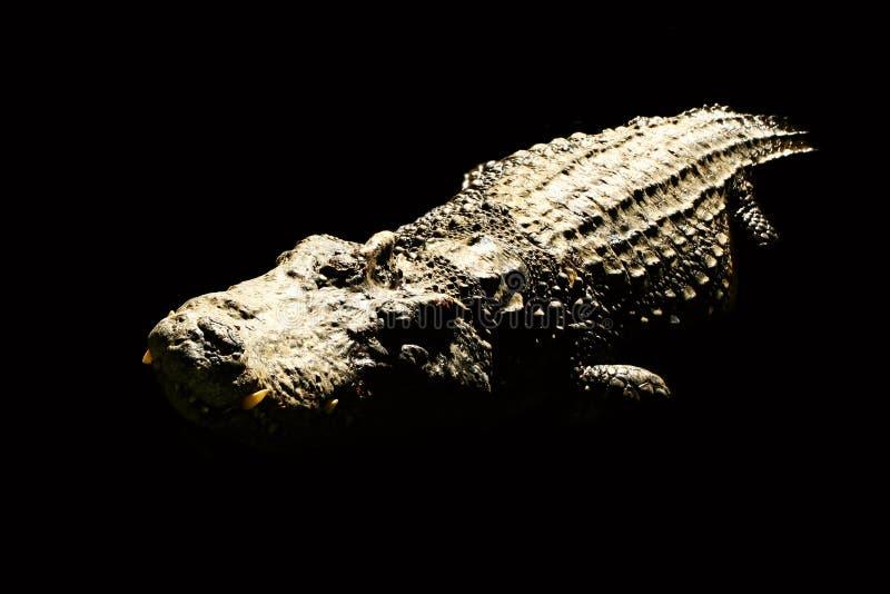 De Thaise krokodil stock foto's