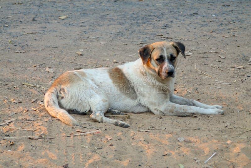 De Thaise lokale hond, de hond zoekt een lokale eigenaar is lang gegaan met droevige ogen stock afbeeldingen
