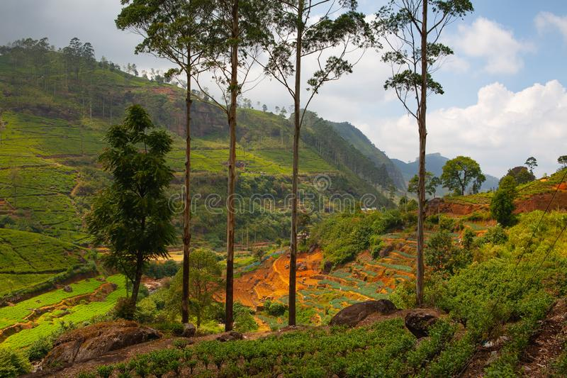 De theeaanplanting van Nuwaraeliya in Sri Lanka stock fotografie