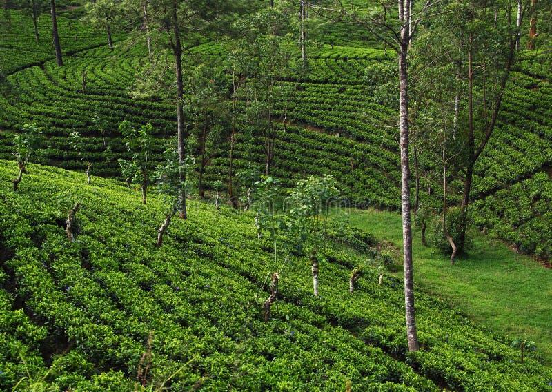 De theeaanplantingen van Ceylon stock foto