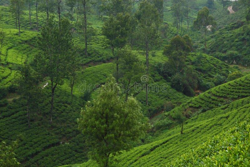 De theeaanplantingen van Ceylon stock fotografie