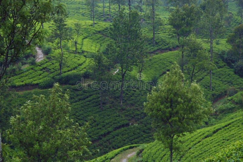 De theeaanplantingen van Ceylon royalty-vrije stock fotografie