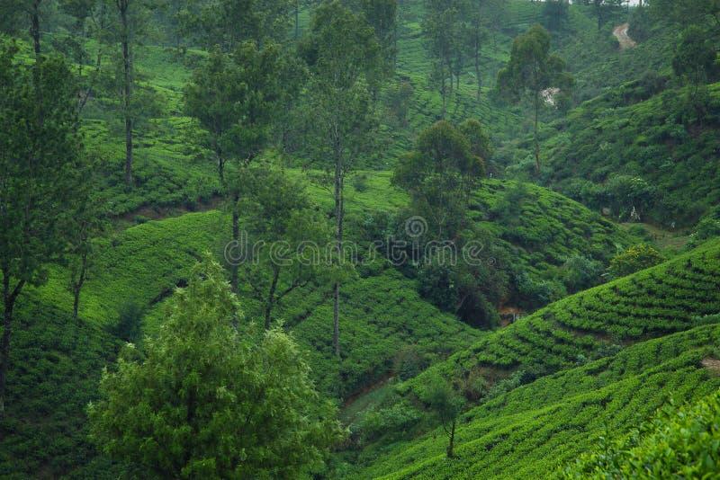 De theeaanplantingen van Ceylon stock afbeeldingen