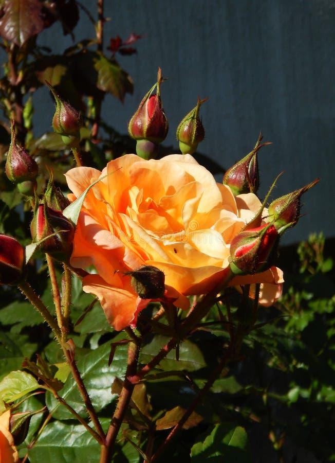 De theerozen van de de lente mooie struik stock fotografie