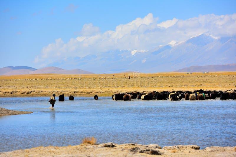 De Tibetaanse schapen van China en yaks royalty-vrije stock foto's