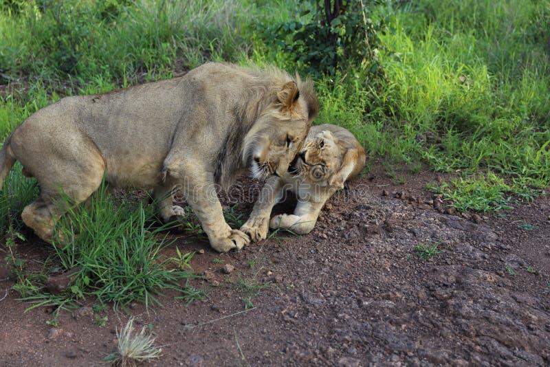 De tienerleeuwen Nuzzle nestelen zich in het Nationale Park van Hwage, Zimbabwe stock afbeelding