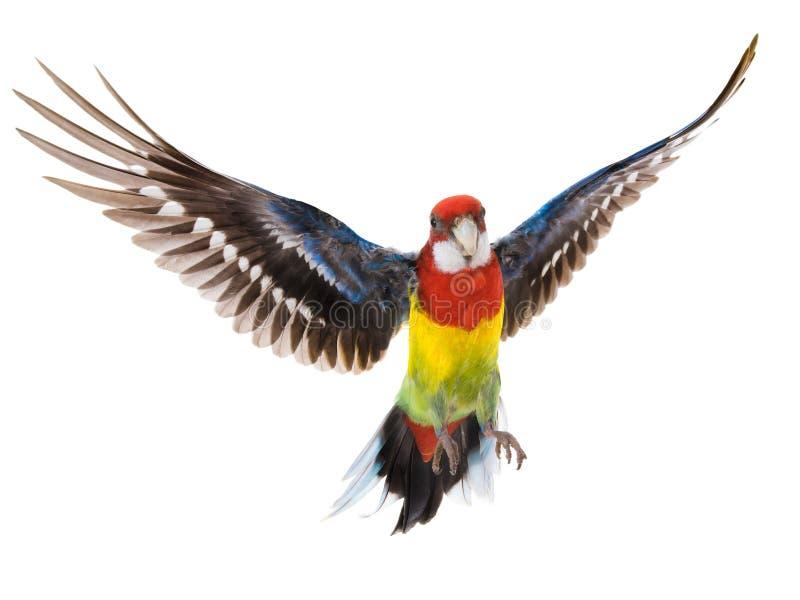 De tijdens de vlucht geïsoleerde papegaai van papegaairosella stock afbeeldingen