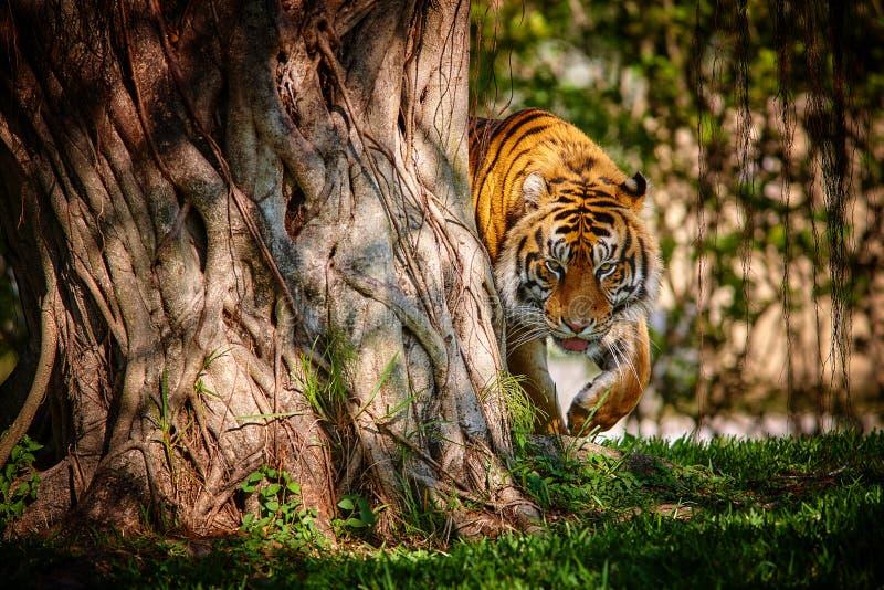 De tijger stock fotografie