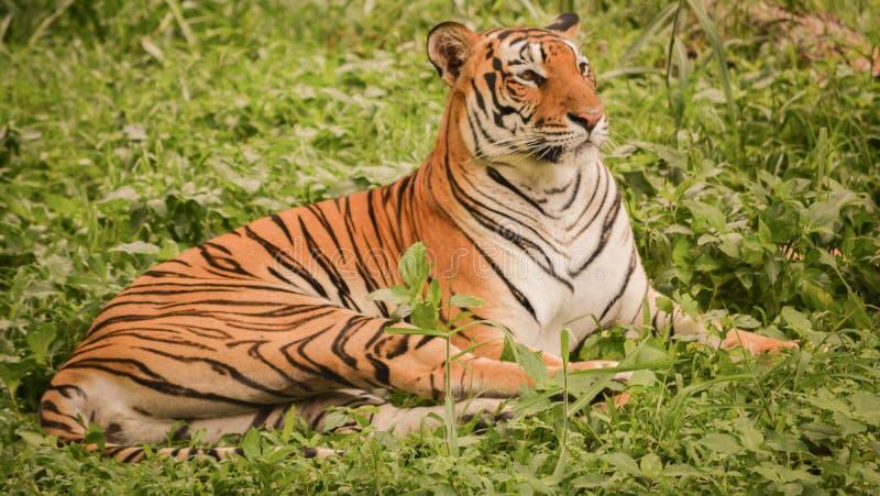 De tijger die van Bengalen rust in grasland nemen tijdens middag stock foto's