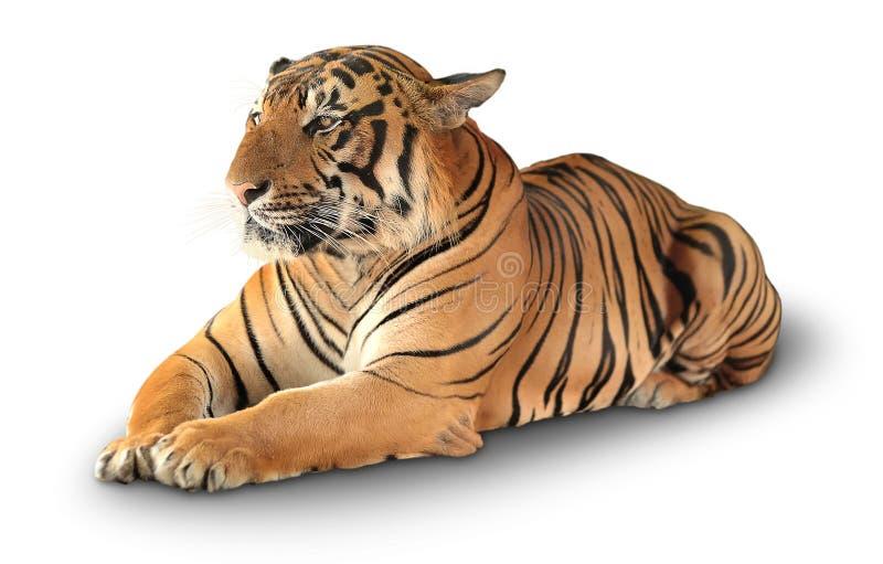 De tijger heeft een rust stock foto's
