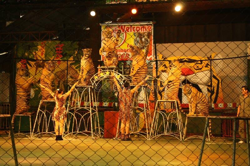De tijger toont stock foto's