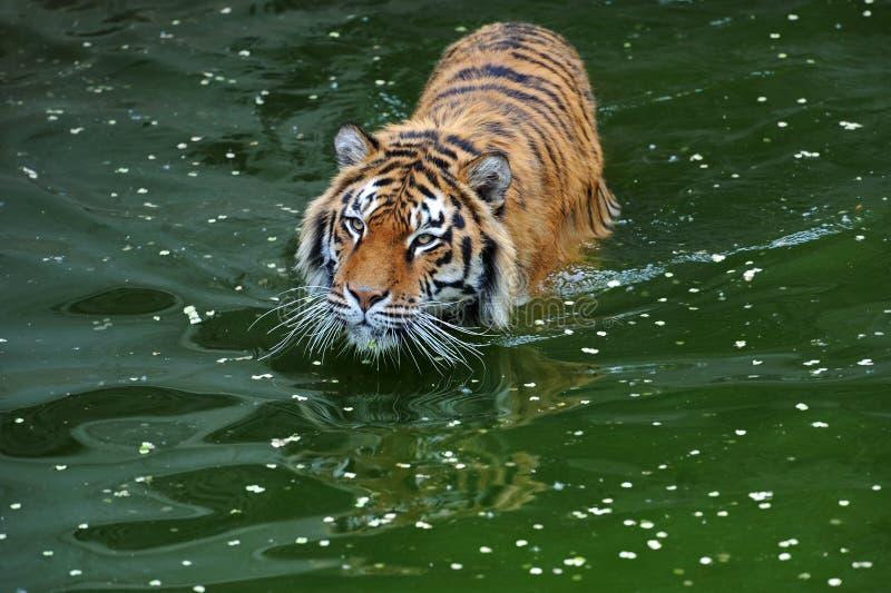 De tijger van Amur royalty-vrije stock fotografie