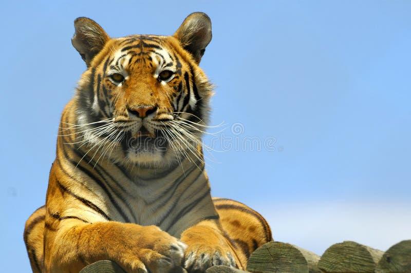 De Tijger van Bengalen stock afbeeldingen