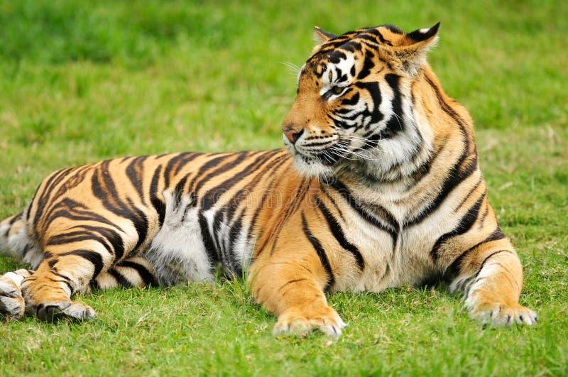 De Tijger van Bengalen stock afbeelding
