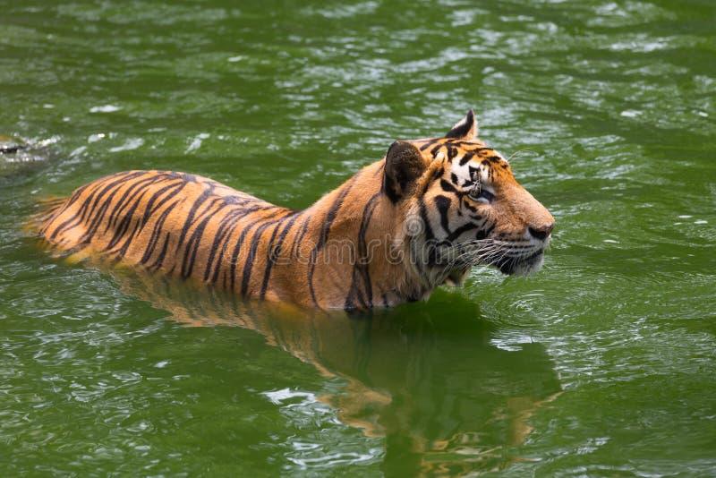 De Tijger van Bengalen in bos royalty-vrije stock afbeelding