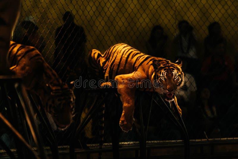 De Tijger van Bengalen in de dierentuin met donkere achtergrond royalty-vrije stock afbeelding