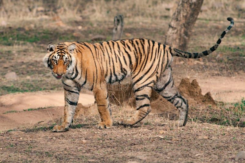 De tijger van Bengalen in het nationale park van Ranthambore stock foto's