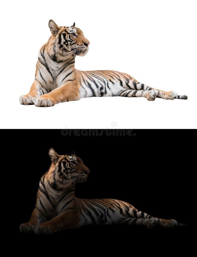 De tijger van Bengalen op de donkere en witte achtergrond stock fotografie
