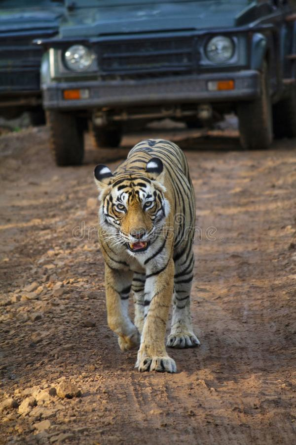 De Tijger van Bengalen, Panthera Tigris Tigris, Ranthambore, Rajasthan, India stock afbeelding