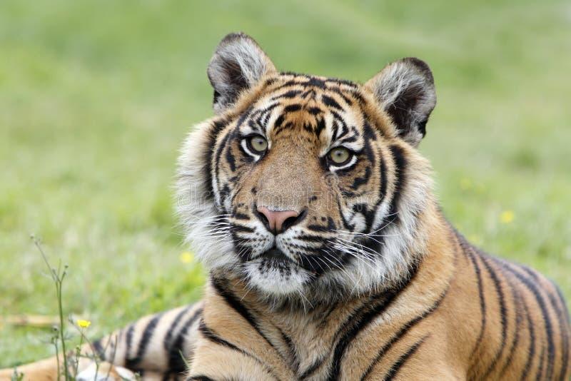 De Tijger van Sumatran stock foto's