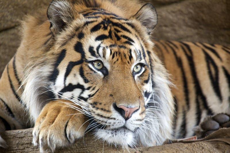 De Tijger van Sumatran royalty-vrije stock afbeeldingen