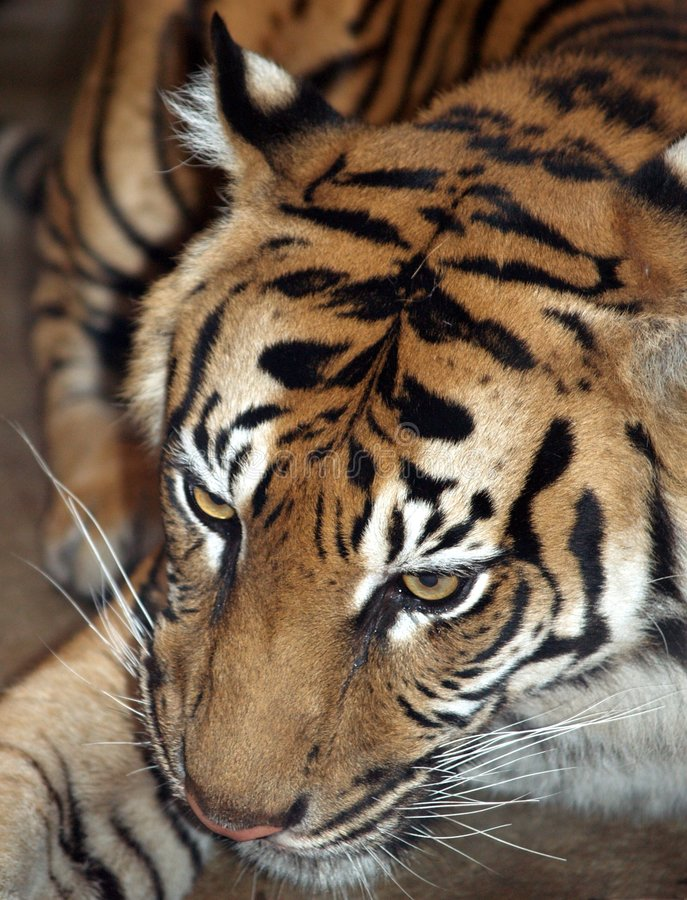 De tijger van Sumatran - sumatrae van Panthera Tigris royalty-vrije stock foto's