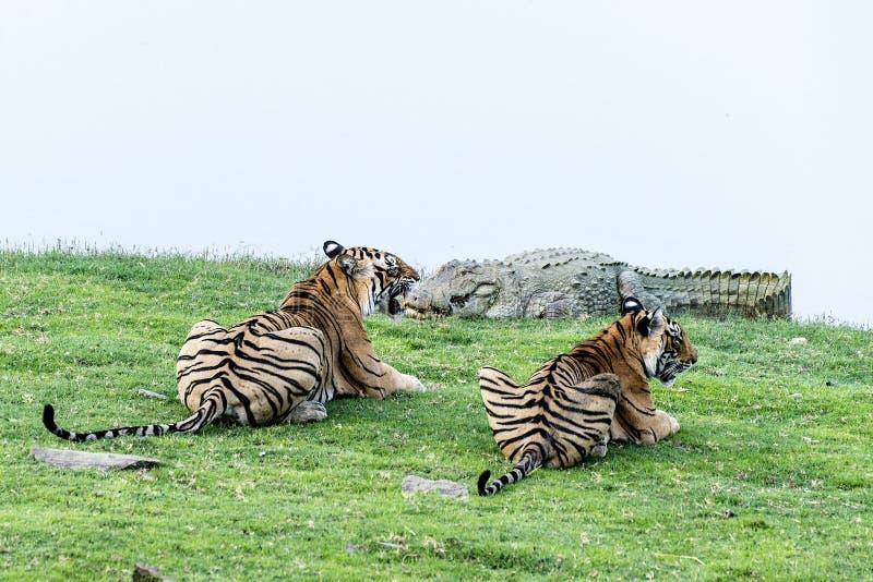 De tijger werpt het letten op krokodil royalty-vrije stock afbeeldingen
