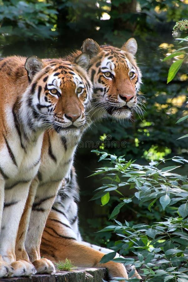 De tijgerpanthera Tigris Tigris van Bengalen in gevangenschap stock foto's