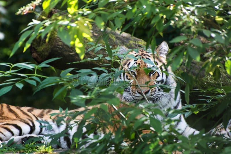 De tijgerpanthera Tigris Tigris van Bengalen in gevangenschap stock foto