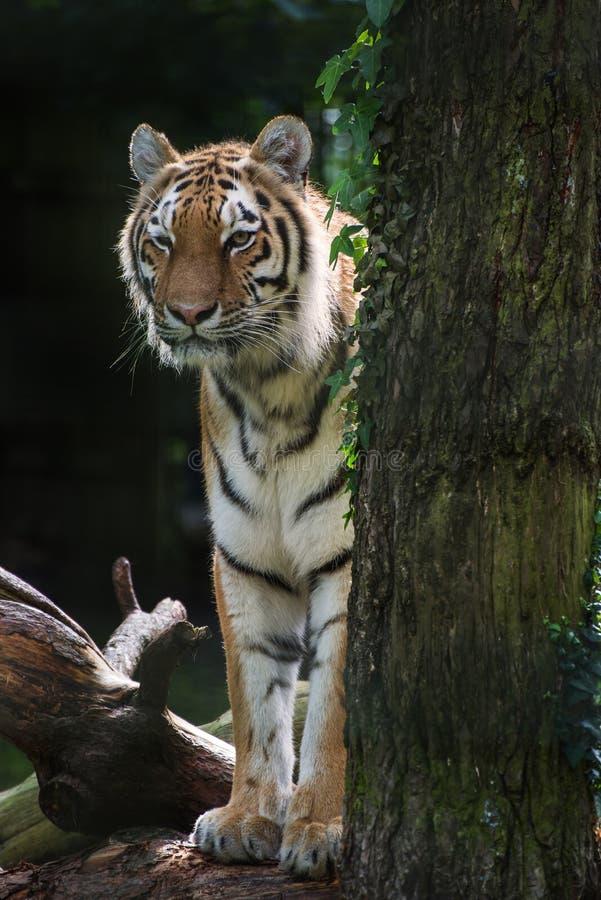 De tijgerpanthera Tigris Tigris van Bengalen in gevangenschap royalty-vrije stock foto