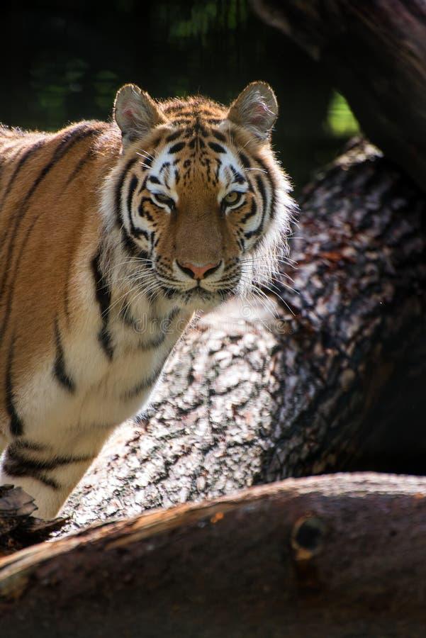 De tijgerpanthera Tigris Tigris van Bengalen in gevangenschap stock afbeeldingen