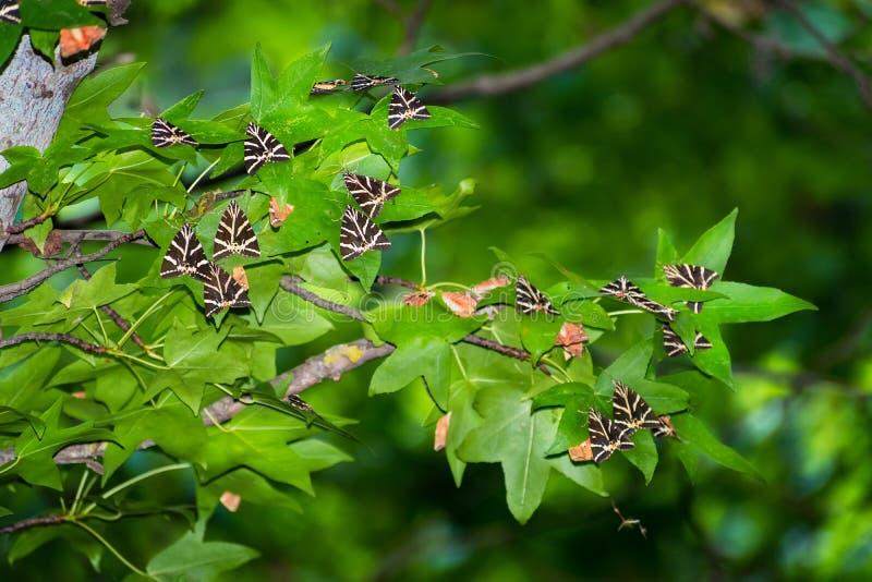 De tijgerrust van vlindersjersey op bladeren van sweetgumboom in Vlindervallei Rhodos, Griekenland stock afbeelding