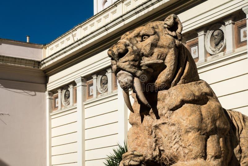 De tijgerschedel van de sabeltand stock foto