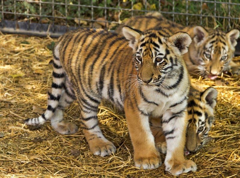 De tijgerwelpen bij de dierentuin royalty-vrije stock fotografie