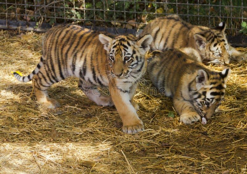 De tijgerwelpen in het kinderdagverblijf royalty-vrije stock foto