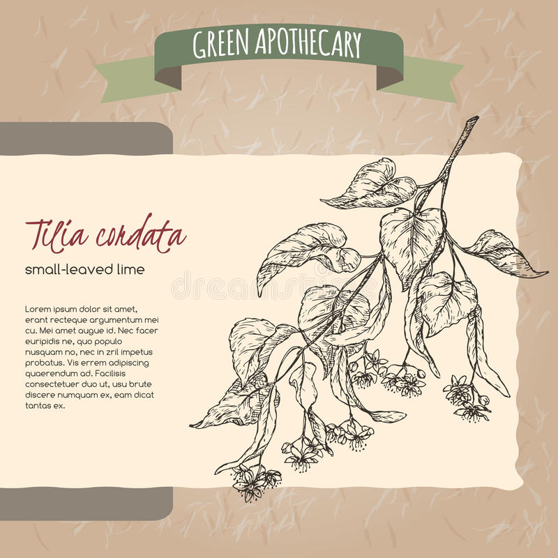 De Tilia petit de chaux ou de tilleul de cordata croquis leaved aka illustration libre de droits
