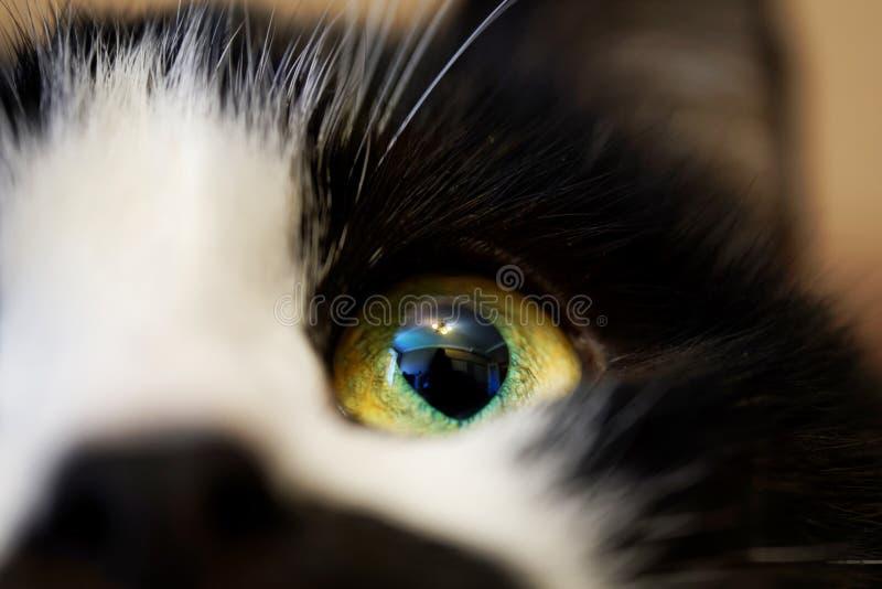 De toegewijde blik van een volwassen kat aan zijn eigenaar Ondiepe Diepte van Gebied stock foto