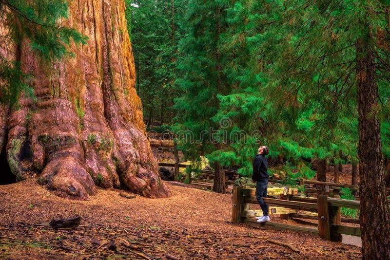 De toerist bekijkt omhoog een reuzesequoiaboom stock foto's